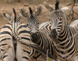 Zebras at Lion Tree Top Lodge Guernsey Private Nature Reserve